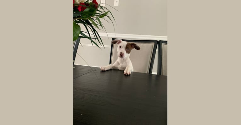 Photo of Ellie, an American Pit Bull Terrier, Australian Shepherd, Australian Cattle Dog, and American Staffordshire Terrier mix in Texas, USA