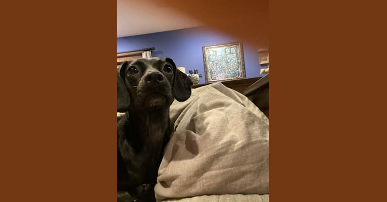 Photo of Raven, a Boykin Spaniel and Rat Terrier mix in South Carolina, USA