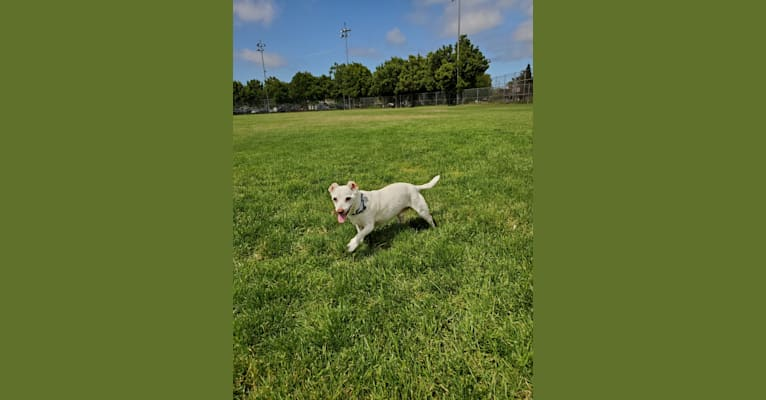 Photo of Barry, a Chihuahua, Rat Terrier, Poodle (Small), Pekingese, and Cocker Spaniel mix in Santa Clara, California, USA