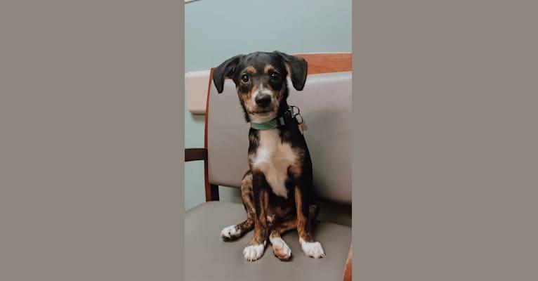 Photo of Carson, a Miniature/MAS-type Australian Shepherd, Beagle, Chow Chow, Pekingese, and Russell-type Terrier mix in Kentucky, USA