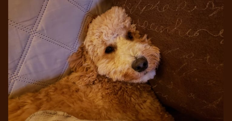 Photo of Bella Lilly May, a Poodle (Small), Poodle (Standard), Labrador Retriever, and Cocker Spaniel mix in New Smyrna Beach, FL, USA