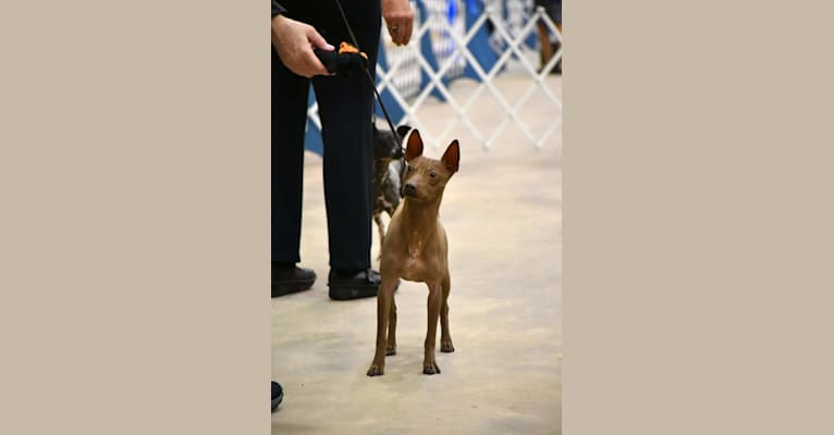 Photo of Morgan, an American Hairless Terrier  in USA