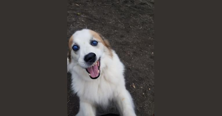 Photo of Jada, a Keeshond, Siberian Husky, and German Shepherd Dog mix in New York, New York, USA