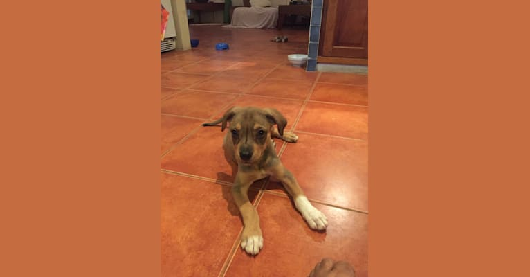 Photo of Luna, an American Staffordshire Terrier, Boxer, German Shepherd Dog, and Mixed mix in Nosara, Guanacaste Province, Costa Rica