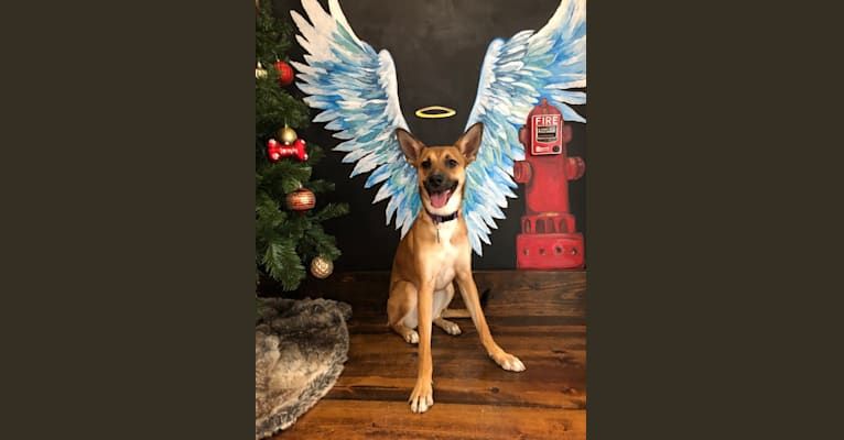 Photo of Harper, a German Shepherd Dog and Boston Terrier mix in Nashville, Tennessee, USA