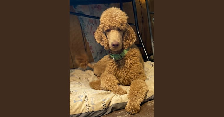 Photo of Elvis, a Poodle (Standard)  in Honey Grove, Texas, USA