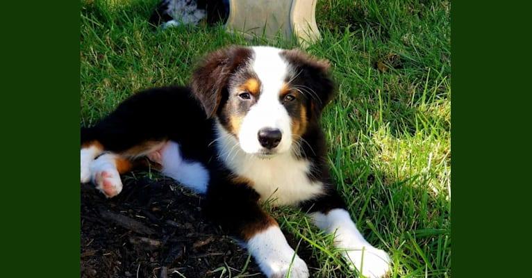 Photo of Strudel, an Australian Shepherd Group  in Virginia, USA