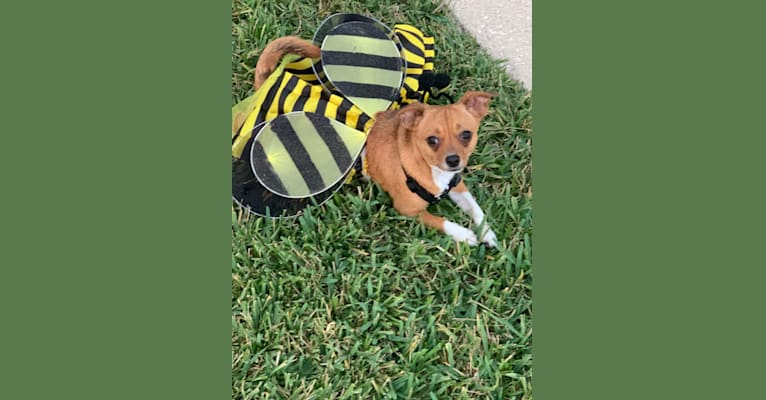 Photo of Lilly Bean, a Chihuahua, Poodle (Small), and Mixed mix in Tampa, Florida, USA