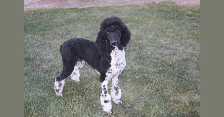 Photo of Tuxi, a Poodle (Standard)  in Tennessee, USA