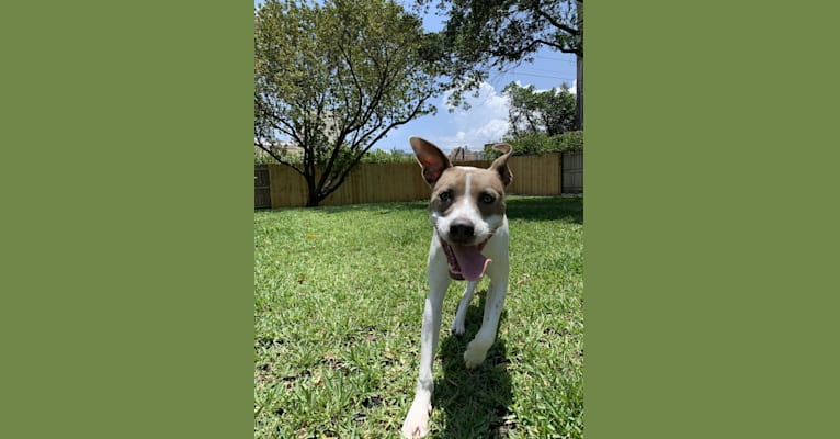 Photo of Flash, an American Pit Bull Terrier, Rottweiler, German Shorthaired Pointer, Chow Chow, American Staffordshire Terrier, and Mixed mix in Dothan, Alabama, USA