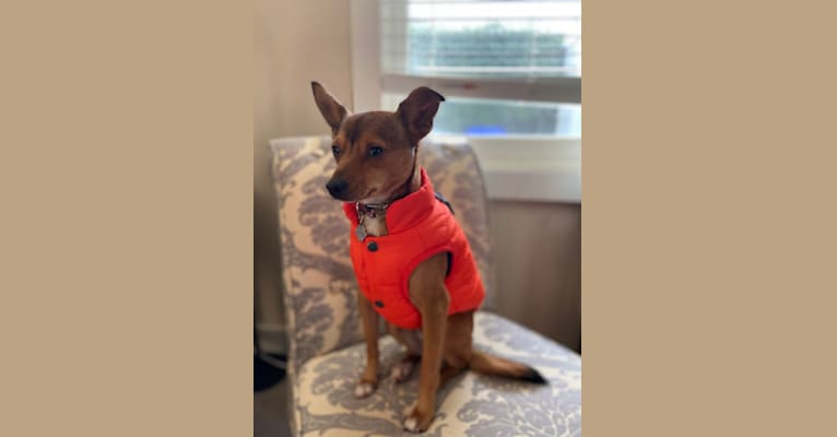 Photo of Marty, a Yorkshire Terrier, Chihuahua, Poodle (Small), Miniature Pinscher, and Mixed mix in Oregon City, Oregon, USA