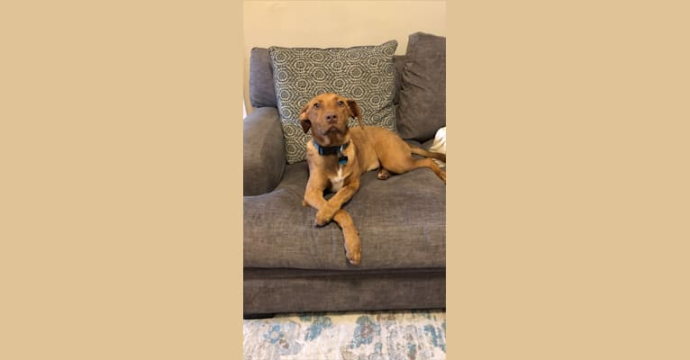 Photo of Rusty, an American Foxhound, American Pit Bull Terrier, and German Shepherd Dog mix in Slidell, Louisiana, USA