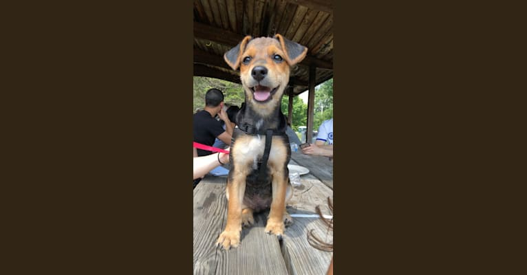 Photo of Enzo, a Yorkshire Terrier, Labrador Retriever, Beagle, and Mixed mix in Uniontown, PA, USA
