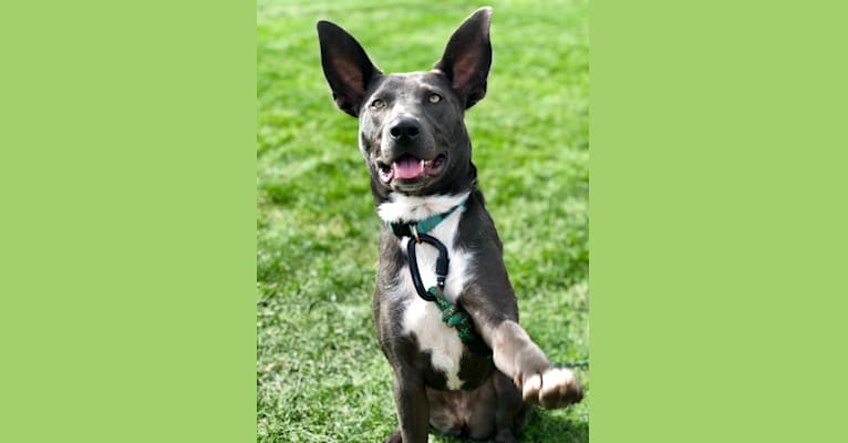Photo of Zia, a Border Collie, American Bully, German Shepherd Dog, and Labrador Retriever mix in Roswell, New Mexico, USA