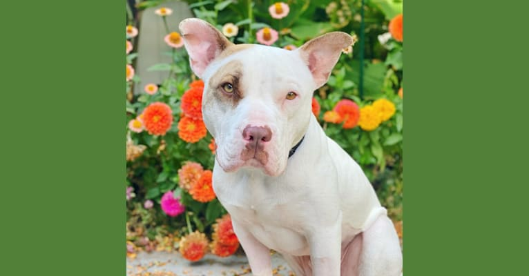 Photo of Archie, an American Pit Bull Terrier and American Staffordshire Terrier mix in Salt Lake City, Utah, USA