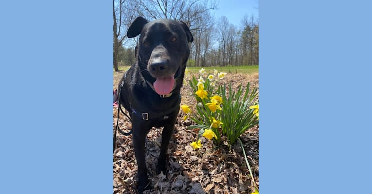 Photo of Lucas, a Chow Chow, Labrador Retriever, American Pit Bull Terrier, and Mixed mix in South Carolina, USA