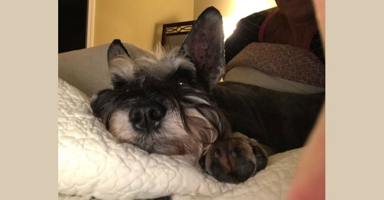 Photo of Regis Brown Sparling, a Miniature Schnauzer
