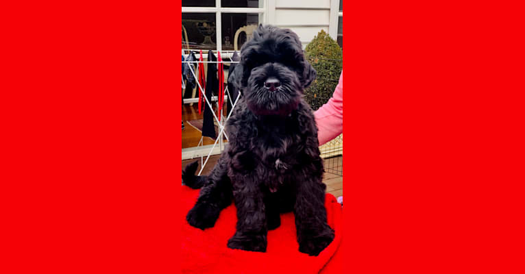 Photo of ODIN - BLACK RHEIGN THE CHOSEN ONE (AI), a Black Russian Terrier  in Vermont VIC, Australia