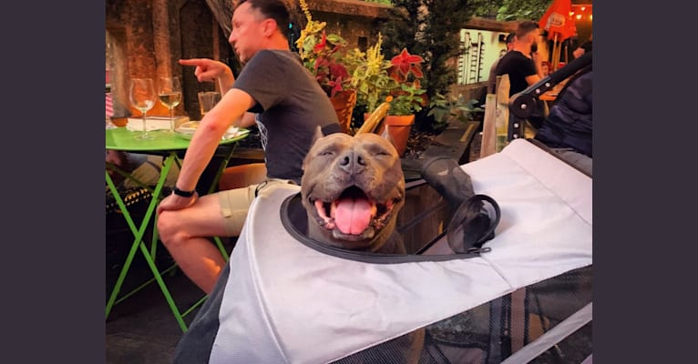 Photo of Bastion, an American Bully  in New York, USA