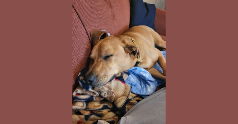 Photo of Ozzie, a Miniature Pinscher, Beagle, American Pit Bull Terrier, German Shepherd Dog, and Mixed mix in Indiana, USA
