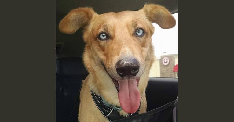 Photo of Akeelah, a Siberian Husky, German Shepherd Dog, and Mixed mix in Al Ain, Abu Dhabi, United Arab Emirates