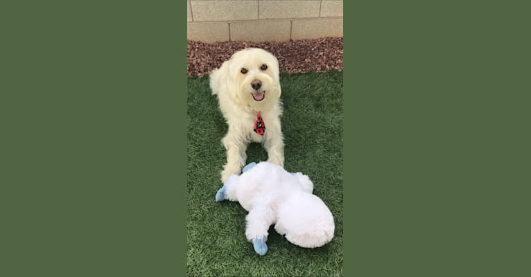 Photo of Baxter, a Rat Terrier, Poodle (Small), Chihuahua, Cocker Spaniel, Pomeranian, and Mixed mix in Las Vegas, Nevada, USA