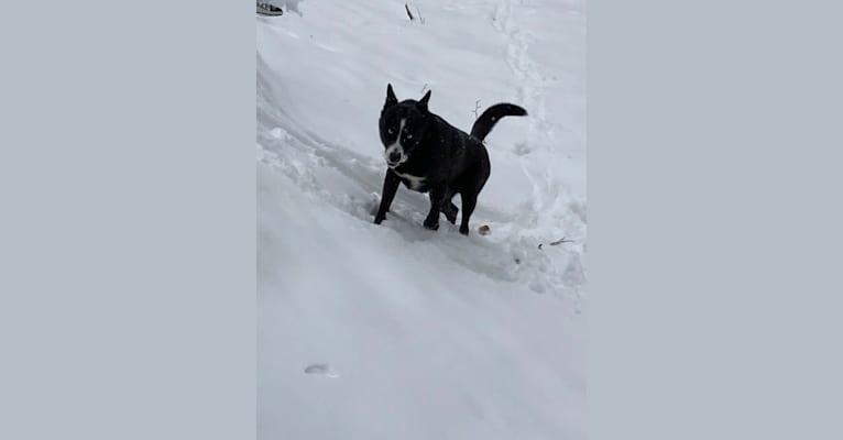 Photo of Takoda, an Alaskan-type Husky, Siberian Husky, and Australian Cattle Dog mix in Nederland