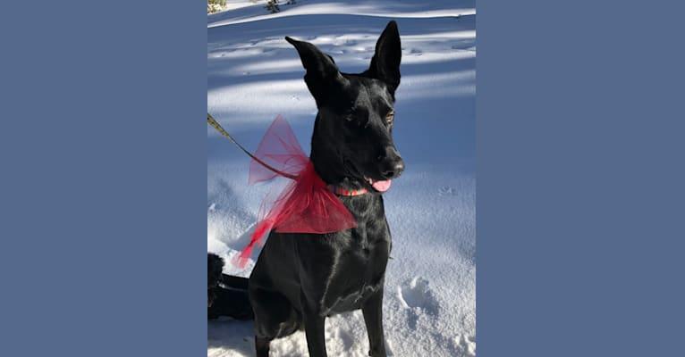 Photo of Nelly, a Doberman Pinscher, German Shepherd Dog, and Labrador Retriever mix in Citrus Heights, California, USA