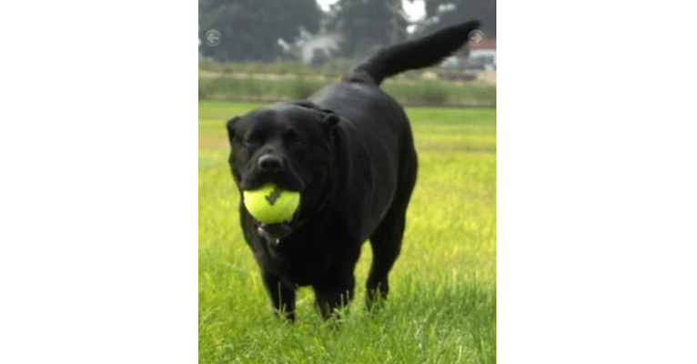 Photo of Caviar, a Labrador Retriever  in Payette, ID, USA
