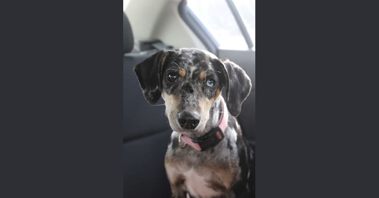 Photo of Reece, a Catahoula Leopard Dog and Border Collie mix in Brenham, Texas, USA