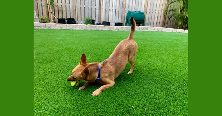 Photo of Cami, a Chihuahua, German Shepherd Dog, Chow Chow, Rat Terrier, and Mixed mix in Miami, Florida, USA