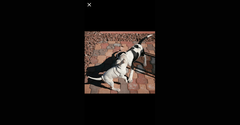 Photo of Ava, an American Pit Bull Terrier, Cocker Spaniel, Chinese Shar-Pei, Australian Cattle Dog, and Mixed mix in Gilbert, Arizona, USA