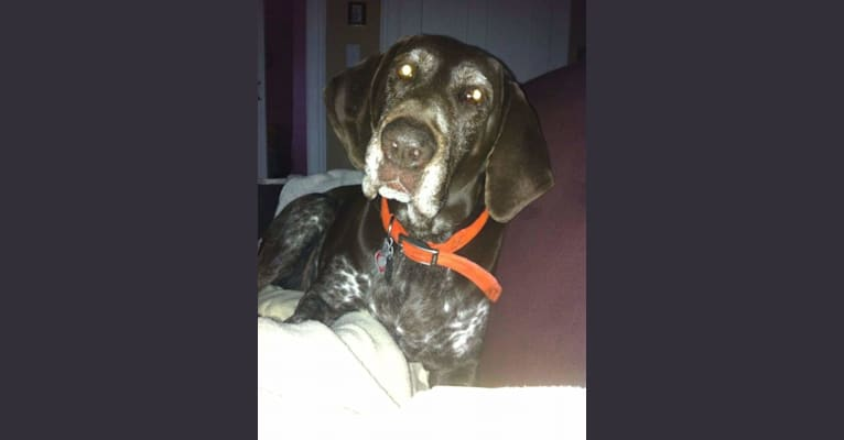 Photo of Babe Connington, a German Shorthaired Pointer  in Jefferson, New York, USA