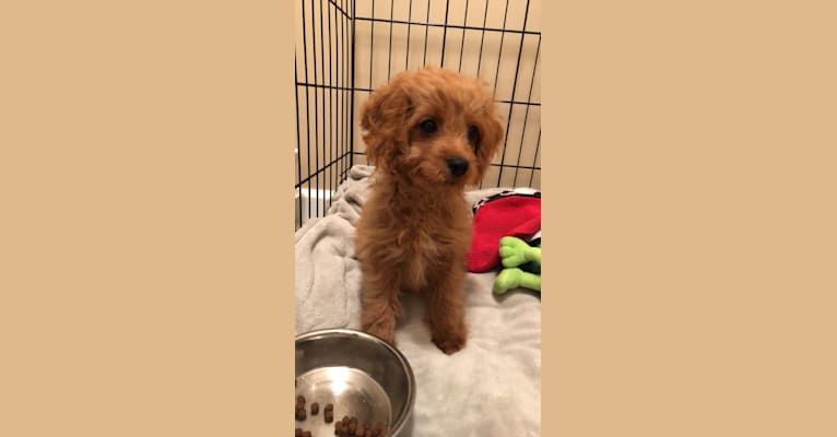 Photo of tucker, a Poodle (Small) and Cocker Spaniel mix in Farmingdale, New York, USA