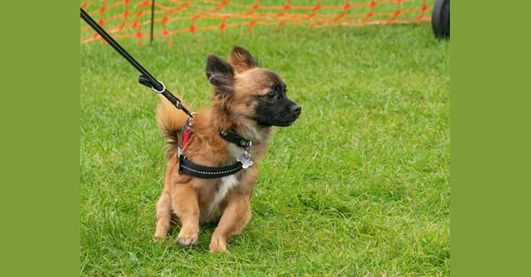 Photo of Rocket, a Chihuahua, Yorkshire Terrier, Poodle (Small), Russell-type Terrier, and Mixed mix in Canary Islands, Spain