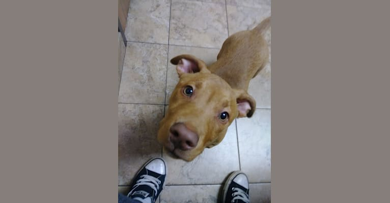 Photo of Mocha, an American Pit Bull Terrier, Chihuahua, Rottweiler, and Mixed mix