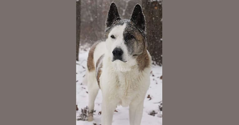 Photo of Davinci, an Akita