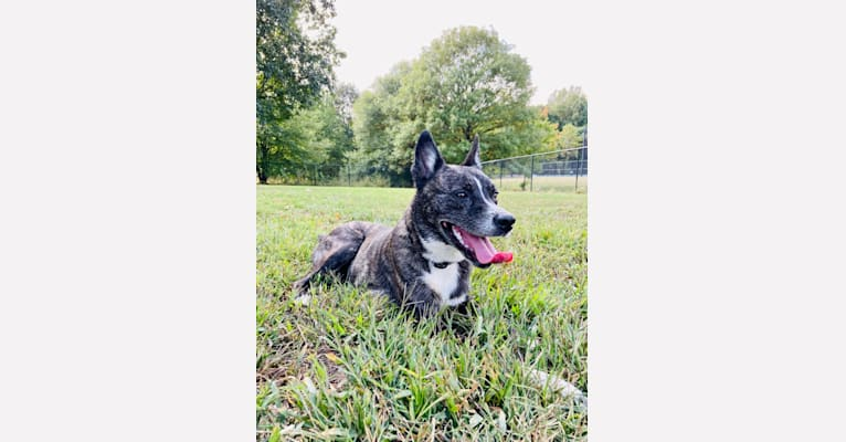 Photo of Athena, a Siberian Husky, Boston Terrier, and Mixed mix in Pennsylvania, USA