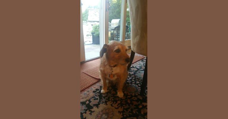 Photo of LUKE, a Russell-type Terrier, Chihuahua, Dachshund, Miniature Pinscher, and Australian Cattle Dog mix