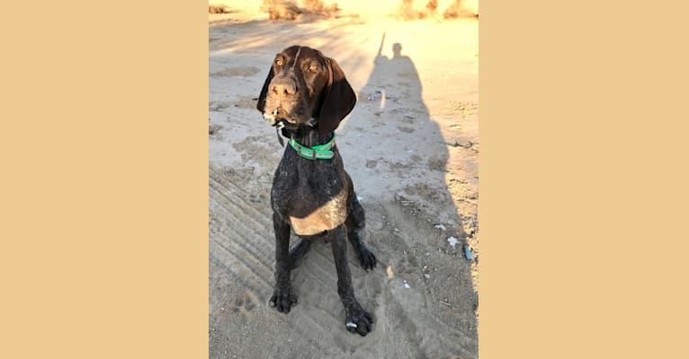 Photo of Otto, a German Shorthaired Pointer  in Wellton, AZ, USA