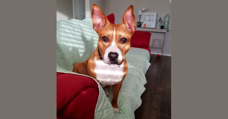 Photo of Zora, an American Pit Bull Terrier, American Staffordshire Terrier, and American Bulldog mix in Austin, Texas, USA