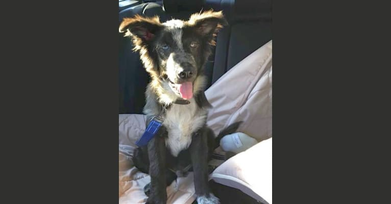 Photo of Tex, an Australian Cattle Dog, Border Collie, Chow Chow, Rottweiler, Siberian Husky, and Mixed mix in Fort Worth, TX, USA