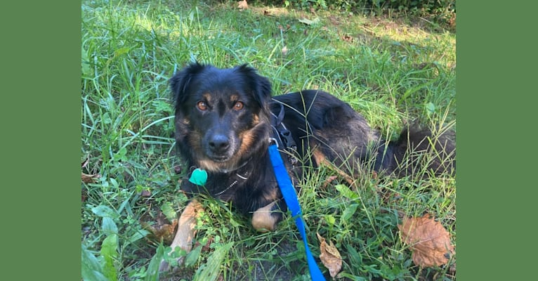 Photo of Koki, a Mountain Cur, Collie, and Mixed mix in Kentucky, USA