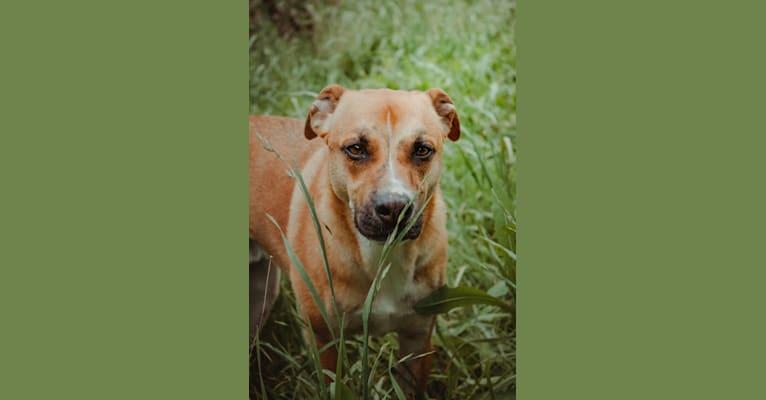 Photo of Atlas, a German Shepherd Dog, Bulldog, and American Pit Bull Terrier mix in San Antonio, Texas, USA