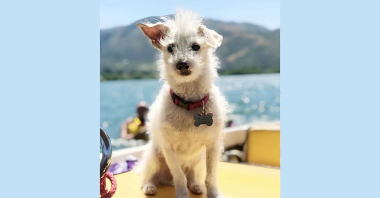 Photo of Willie, a Poodle (Small) and Chihuahua mix