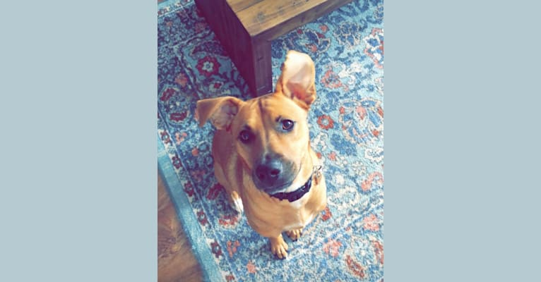 Photo of Lola, an American Pit Bull Terrier, Labrador Retriever, and Mixed mix in North Carolina, USA