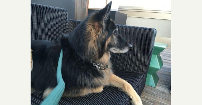 Photo of Angel, a German Shepherd Dog and Siberian Husky mix