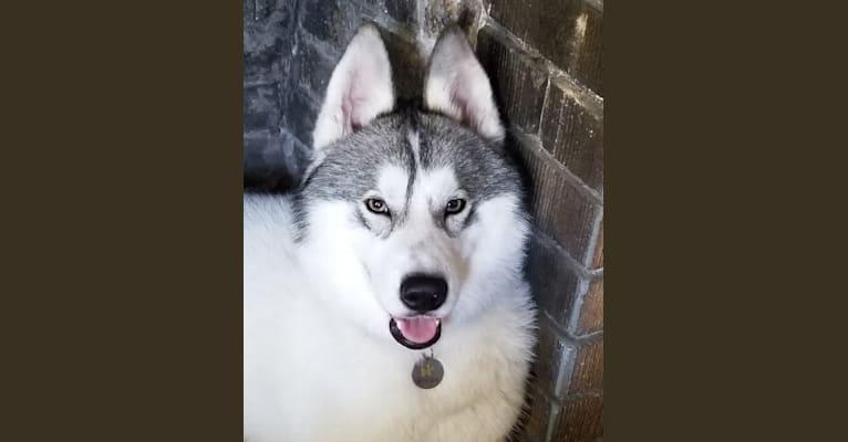 Photo of Zorro, a Siberian Husky  in Plant City, Florida, USA