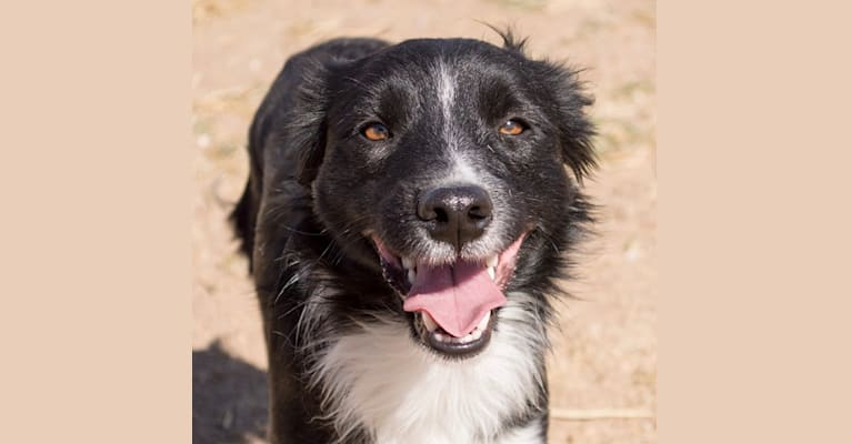 Photo of Tux, a Border Collie, Whippet, Border Terrier, and Russell-type Terrier mix in Pahrump, NV, USA