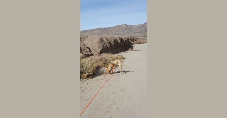 Photo of Ero, an American Bulldog, Chinese Shar-Pei, and Chow Chow mix in Deming, New Mexico, USA